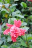 De hibiscus bloeit zo mooi Roze Stock Foto