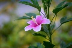 De hibiscus is Thaise bloem Stock Afbeelding