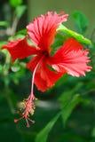 De hibiscus van de bloem stock afbeelding