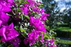De hibiscus van Museodolores olmedo bloeit DF Mexico-City Stock Fotografie
