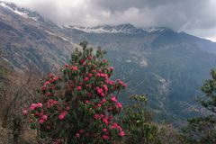 De Himalayan bergen, Nepal Blomningrhododendroner royaltyfria foton