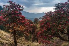 De Himalayan bergen, Nepal Blomningrhododendroner royaltyfria bilder