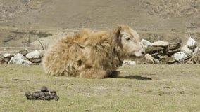 De Himalayan-jak ligt onder de bergen van Nepal Trek van de Manaslukring stock footage
