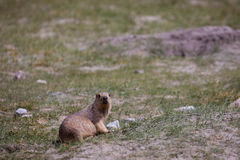 De Himalayan-marmot Stock Foto