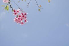 De Himalayankers is roze bloem Royalty-vrije Stock Foto