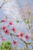 De Himalayankers is roze bloem Stock Afbeelding