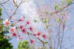 De Himalayankers is roze bloem Stock Afbeeldingen
