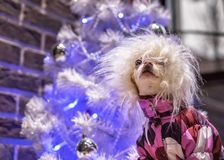 De hippiehond viert de Nieuwjaarvakantie op de achtergrond van een witte Kerstboom royalty-vrije stock afbeeldingen