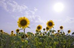 De hitte van de zonnebloem Stock Foto