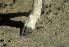 De hoef van herten Stock Foto