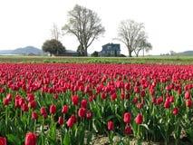 De Hoeve van tulpen Stock Afbeeldingen