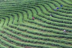 De hoge aanplanting van de heuvel groene thee stock foto's