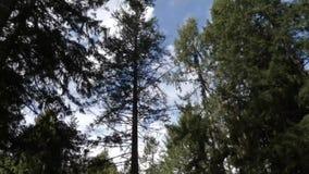 De hoge heldere wolken verlengen de zomerbomen stock video