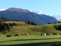 De hoge paarden die van het land met bergachtergrond weiden, Nieuw Zeeland Stock Afbeelding