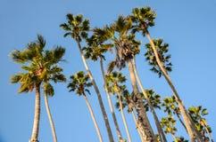 De hoge palmen van Californië op de blauwe hemelachtergrond stock afbeelding
