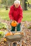 De hogere man heft pompoenen in de tuin op Royalty-vrije Stock Afbeeldingen