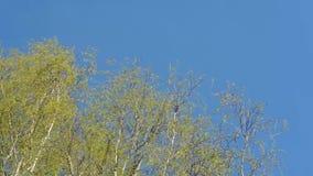 De hogere takken van berkbomen met jonge bladeren die in de wind tegen de blauwe hemel slingeren stock footage