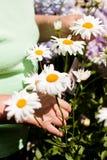 De hogere vrouw sneed madeliefjes in de tuin Stock Afbeelding