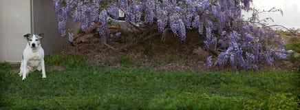 De hogere zitting van de pitbullhond op gras door wisteriawijnstokken Royalty-vrije Stock Afbeeldingen