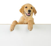 De holding van de golden retrieverhond op een witte lege raad Stock Fotografie
