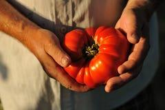 De holding van de landbouwer in zijn handen grote tomaten Stock Foto's