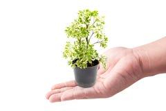 De holding van de mensenhand met groene installaties in de kleine geïsoleerde potten Stock Fotografie