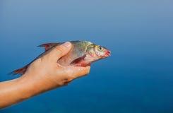 De holding van de vissersmens in zijn gevangen hand, riviervissen Royalty-vrije Stock Afbeeldingen