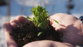 De Holdings een weinig Groene Spruit van mensenhanden Een mens houdt een ontspruitende spruit met zwarte aarde in zijn handen clo stock videobeelden