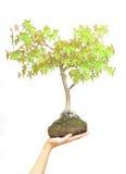 De holdingsboom van de hand op wit royalty-vrije stock fotografie