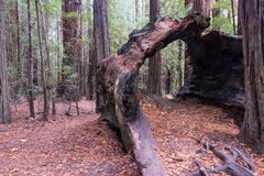 De holle Stomp van de Californische sequoiaboom stock foto's
