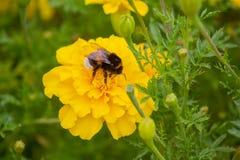De hommel bestuift een gele bloem op het gazon Stock Foto