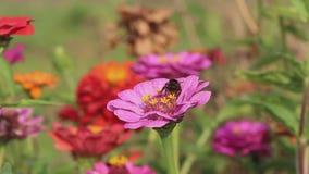 De hommel op bloem verzamelt nectar en vliegt weg stock footage