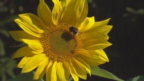 De hommel is op een bloem van een zonnebloem stock videobeelden