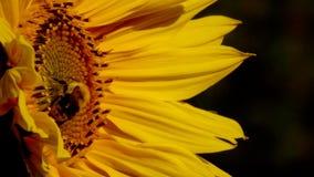 De hommel is op een bloem van een zonnebloem stock video