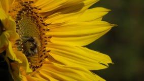 De hommel is op een bloem van een zonnebloem stock footage