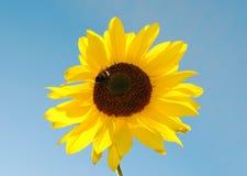 De hommel van de zonnebloem Stock Foto