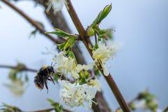 De hommel verzamelt nectar Royalty-vrije Stock Afbeeldingen