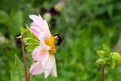 De hommel verzamelt nectar op dahlia in de de zomertuin royalty-vrije stock afbeelding