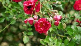 De hommel verzamelt nectar van roze struik 4k stock video