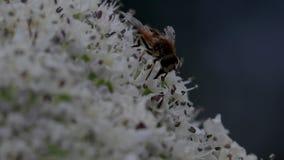 De hommel-vlieg die nectar van een reus verzamelen hogweed bloemhoofd in Juni, Schotland stock footage