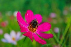 De hommel zit op een bloem Zinnia Stock Foto