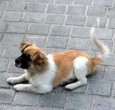 De hond Stock Foto's