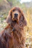 De Hond. Stock Foto's
