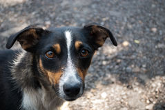 De hond Royalty-vrije Stock Fotografie