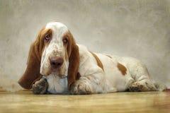 De hond Basset Hound kijkt droevige ogen stock afbeelding