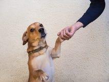 De hond begroet hand De familiehond begroet de eigenaar royalty-vrije stock fotografie