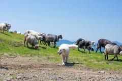 De hond beschermt schapen die op de hellingen van Oekraïense Auto weiden royalty-vrije stock fotografie