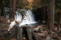 De hond bevindt zich door de waterval Jack Russell Terrier in aard Gezonde Levensstijl stock foto's