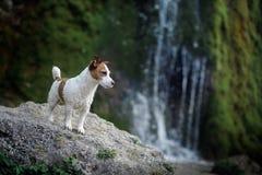 De hond bevindt zich op een rots door de waterval Jack Russell Terrier in aard Gezonde Levensstijl stock afbeeldingen