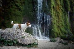 De hond bevindt zich op een rots door de waterval Jack Russell Terrier in aard Gezonde Levensstijl stock foto's